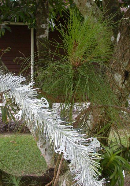 Pinus kesiya.Christmas.72