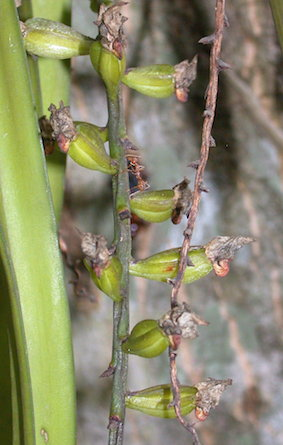 Aerides multiflora fruits July 2015